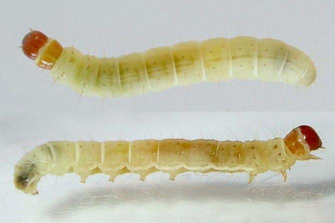 личинки домашних вредителей