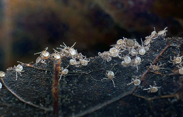 Личинки иксодового клеща
