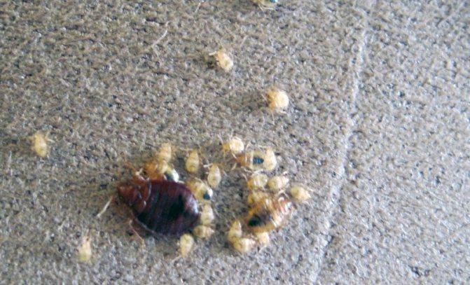 личинки клеща