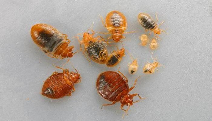 Личинки клопов и взрослые особи