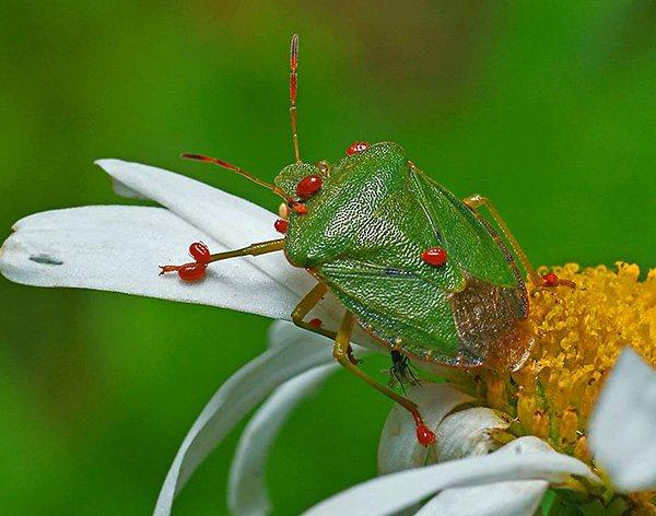 Личинки красного клеща зачастую массово нападают на насекомых и паукообразных.