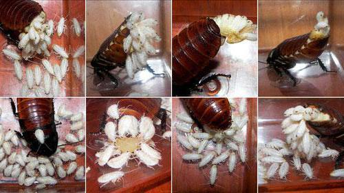 личинки тараканов фото