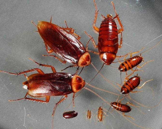 Личинки тараканов и взрослые особи