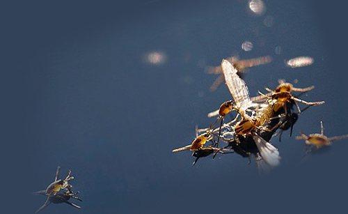 Личинки водомерок поедают добычу