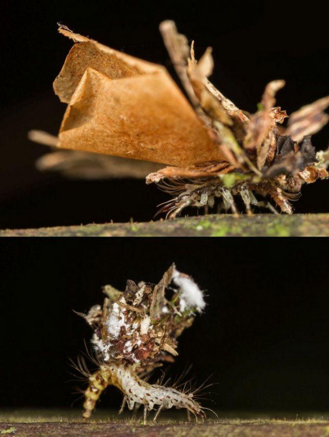 Личинки златоглазок с растительным мусором