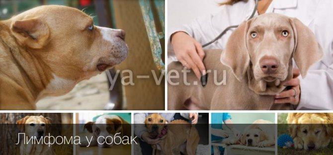 Лимфома — рак лимфатической системы у собак