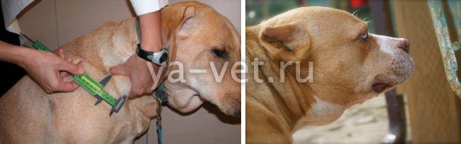 лимфома у собак лечение и прогноз