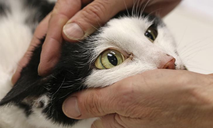 липидоз печени у кошек лечение