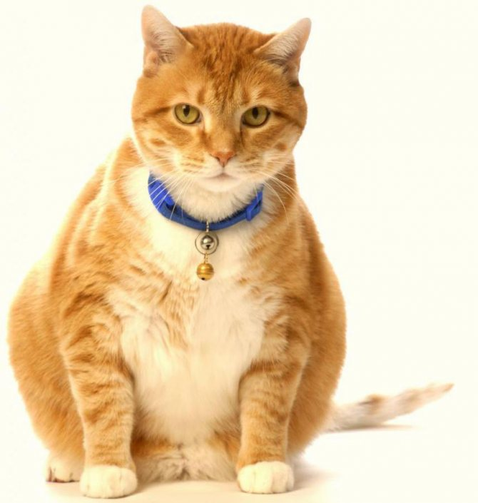липидоз печени у кошек симптомы