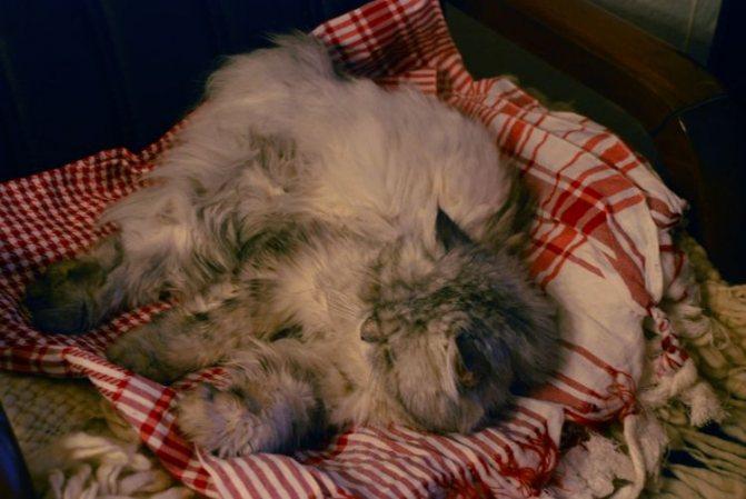 Липидоз печени у котов и кошек