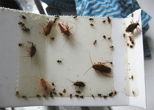 Липкая лента ловит и больших, и маленьких тараканов