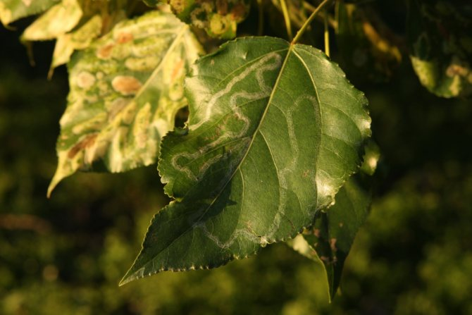 Листва тополя опадет уже в июле