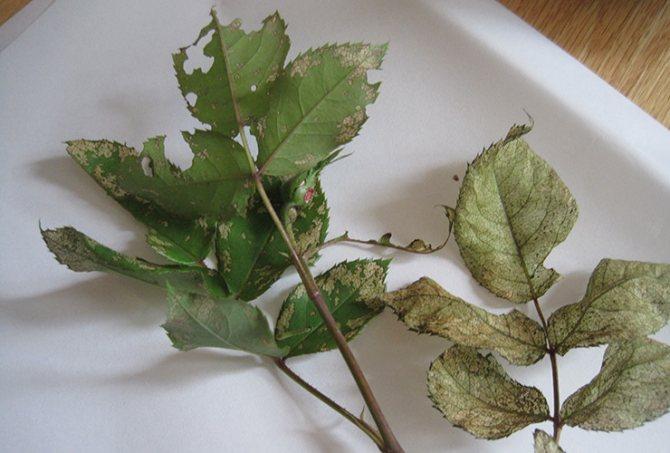 Листья розы после паутинного клеща