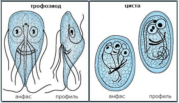 Лямблиоз у кошек схема лечения