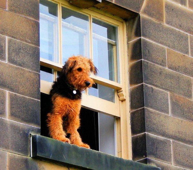 Любопытный пес