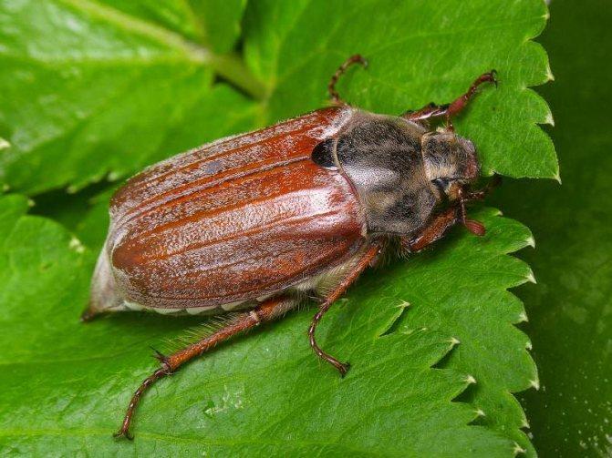 Майский жук имеет толстое, крепкое тело, с хорошо развитыми ногами и двумя парами крыльев