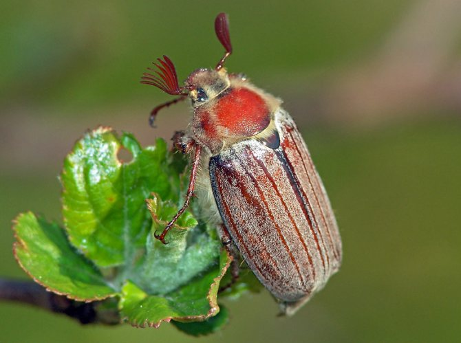 Майский жук, общий вид