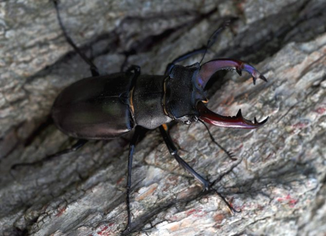 Майский жук ползает по коре дерева