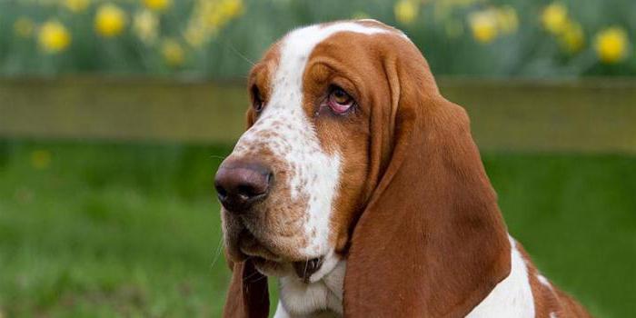 маленькая собака с длинными ушами