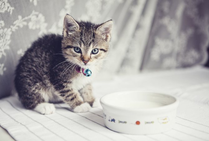 маленький котенок и миска с молоком