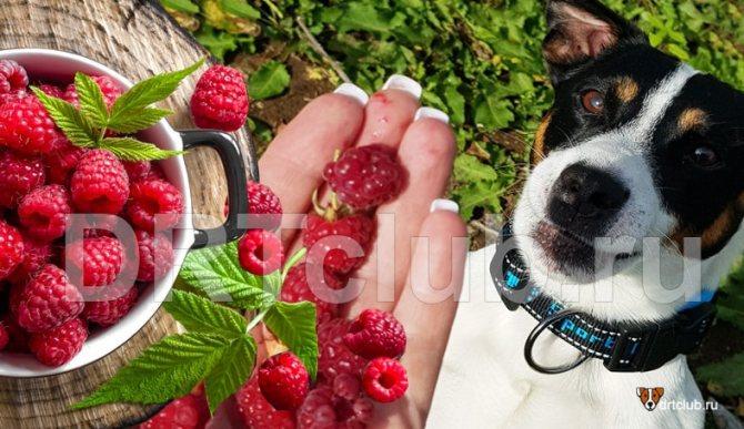 Малина для собак: можно или нельзя