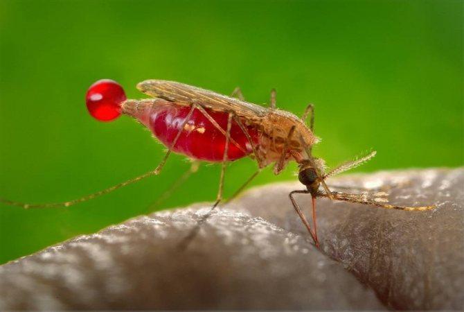 Малярийный-комар-анофелес
