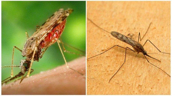 Малярийный комар фото