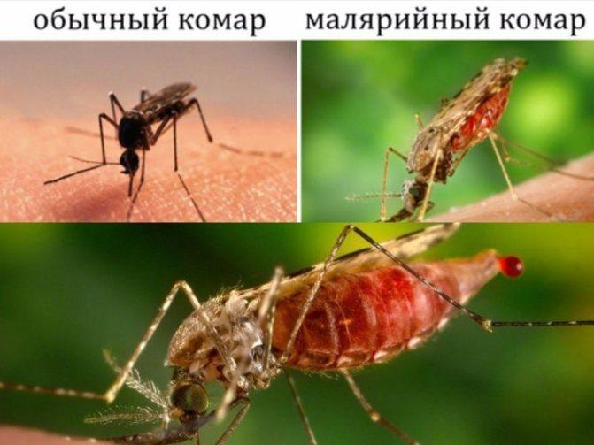 малярийный комар отличается от обыкновенного