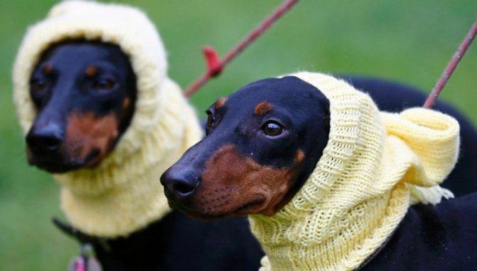 Манчестерские терьеры относятся к комнатным собакам