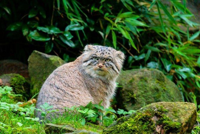 Манулы считаются первыми кошками, появившимися в мире