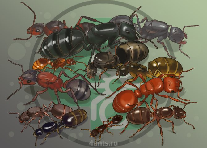 матки муравьев