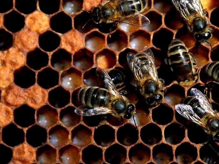 Медоносные пчелы на сотах, фото насекомые фотография