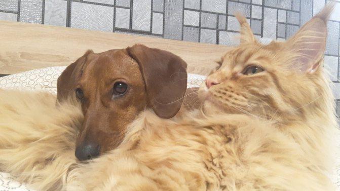 Мейн-кун и собака
