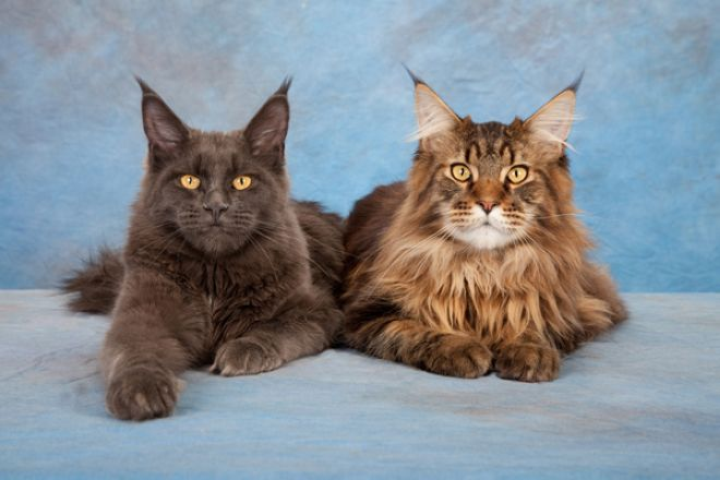 Мейн кун кот и кошка