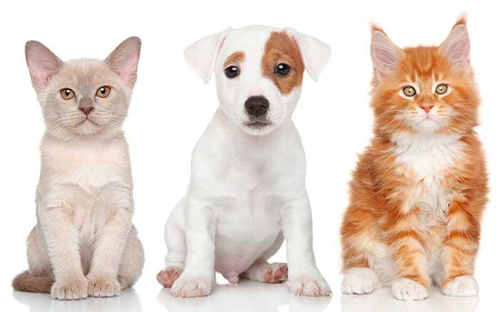 Мейн-кун, кот и пес