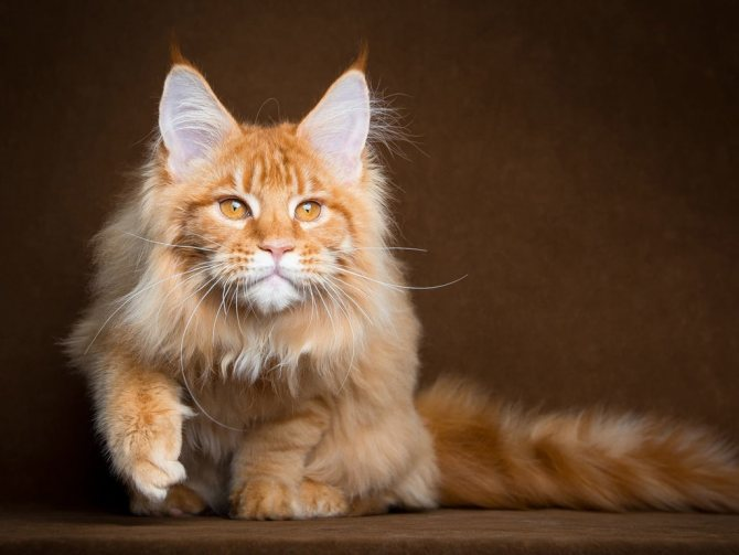 Мейн куны считаются одной из самых живучих пород кошек
