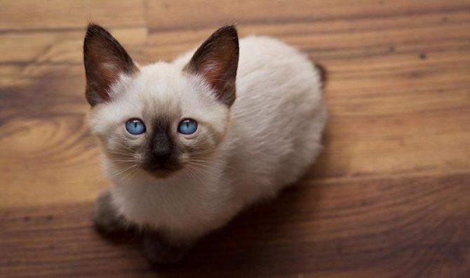 Меконгский бобтейл с голубыми глазами