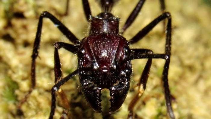 Мелкие монстры - самые опасные муравьи в мире-29 фото-