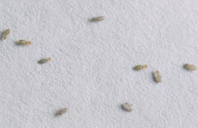 Мелкое насекомое в квартире