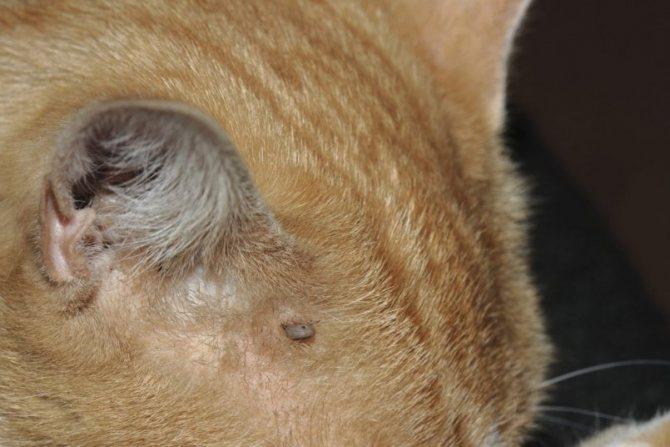 Места локализации подкожных клещей кошка расчесывает, создавая очаг раздражения