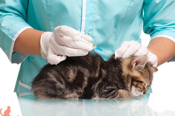 Место прививки кошке