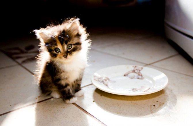 месячный британский котенок
