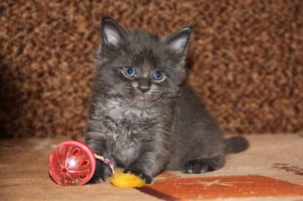 Месячный котёнок