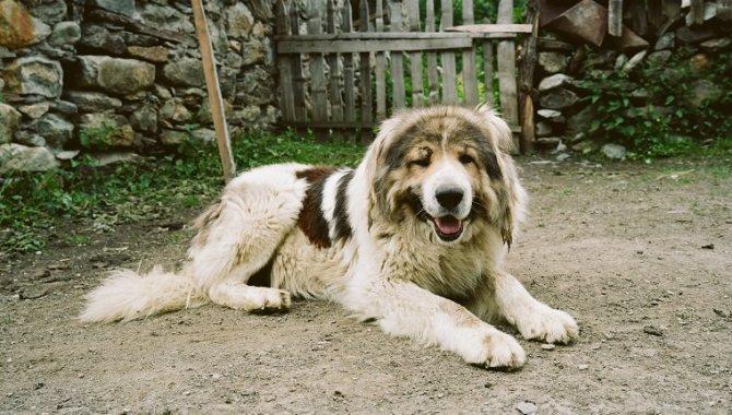 метис кавказской овчарки