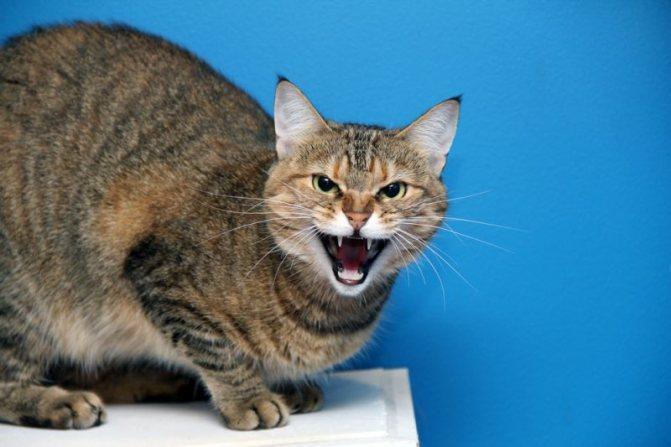 Методы успокоения котят при агрессии и тревожности