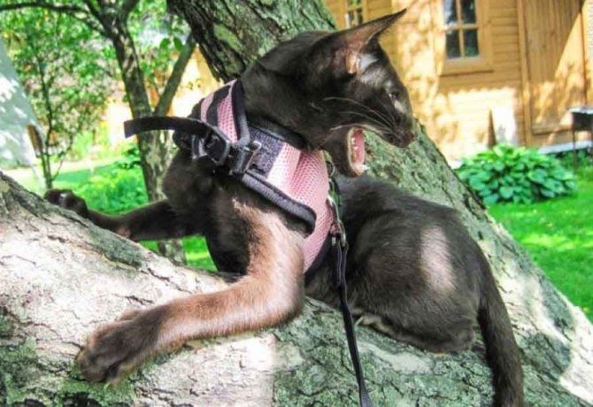 Мифы о прогулках с кошкой на поводке