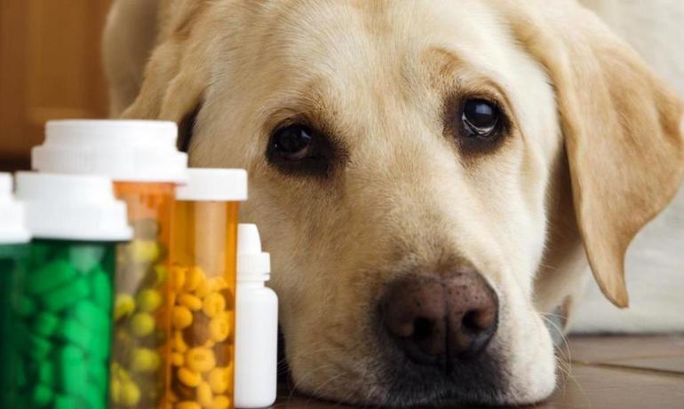Микоплазмоз собака