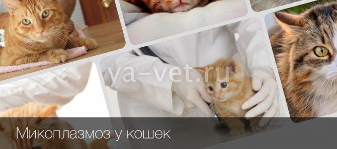 Микоплазмоз у кошек. Симптомы заражения и лечение
