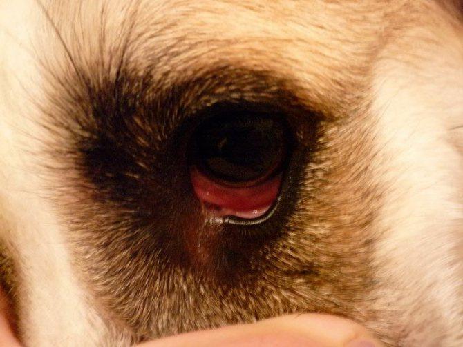 Микоплазмоз у собаки