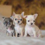 Милые щенки чихуахуа
